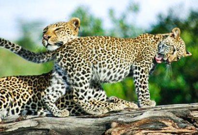 leopard two leopard